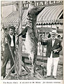 FMIB 32883 The Bonito Shark; a Rod Catch by Mr Sharp.jpeg