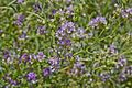 Fabaceae sp.-CTJ-IMG 6337.jpg