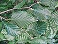 Fagus sylvatica 'atropurpurea pendula' leaves 02 by Line1.jpg