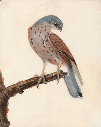 William Lewin - Falcon: Hen Kestrel by William Lewin, before 1790. Yale Center for British Art