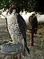 Falconry Dubai.jpg