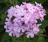 Fall Phlox (Phlox paniculata) in a West Seattle park