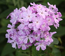Fall Phlox (Phlox paniculata) in a West Seattle park.jpg