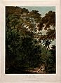 Fan palm (Chamaerops humilis L.) with surrounding tropical f Wellcome V0043049.jpg