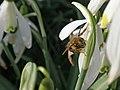 February 29th. February Bee (6795288842).jpg