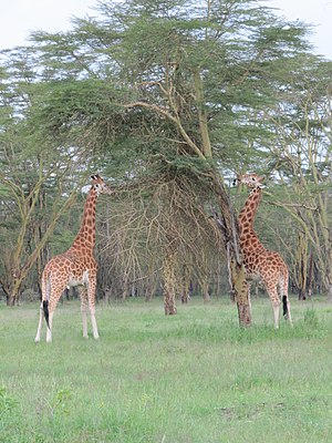 Northern giraffe - Northern giraffes (G. c. camelopardalis) feeding on trees Lake Nakuru National Park, Kenya.