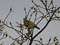 Female Yellow-Footed Green Pigeon.jpg