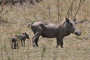 Common warthog - Female with young, Serengeti National Park, Tanzania
