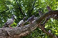 Feral pigeons in Kronstadt.jpg