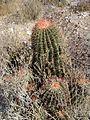 Ferocactus pilosus (5761481573).jpg