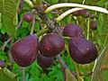 Ficus carica 006.JPG