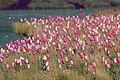 Field of Tulips (3472821935).jpg