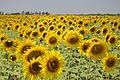 Field sown with sunflowers in Zimovnikovskiy district.jpg
