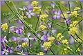 Fields Of Purple And Yellow (153378657).jpeg