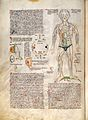 Figures of arteries and stomach etc. Organ man Wellcome L0029307.jpg