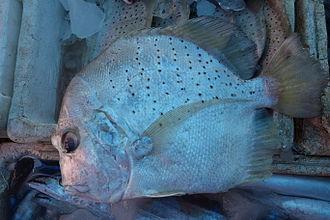 Drepane (fish) - Spotted sicklefish (D. punctata)