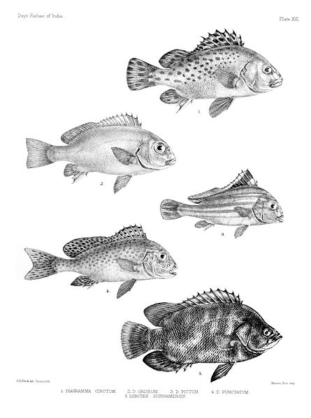 http://upload.wikimedia.org/wikipedia/commons/thumb/0/05/Fishes_of_India._Atlas._Plate_XXI.jpg/445px-Fishes_of_India._Atlas._Plate_XXI.jpg