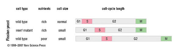 Cell-cycle length of the fission yeast depends on nutrient conditions.