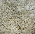 Fissurina cypressi - Flickr - pellaea (1).jpg