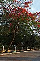 Flame tree in Rizal Park.jpg