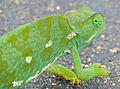 Flap-neck Chameleon (Chamaeleo dilepis) (13876758264).jpg