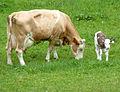 Fleckvieh-Mutterkuh mit Kalb 10.JPG