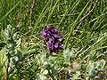 Fleur sur le Vitocha.JPG