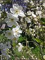 Fleurs de cerisier à Grez-Doiceau 002.jpg