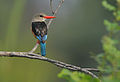 Flickr - Rainbirder - Grey-headed Kingfisher (Halcyon leucocephala).jpg