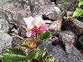 Flor rosa.JPG