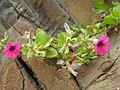 Flora no Morro da Guarita - Torres 2.jpg