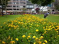 Flores en peru,parque kennedy miraflores lima peru.JPG