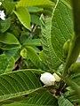 Flower of Guava Plant 02.jpg