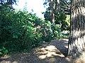 Flowering bush - panoramio.jpg