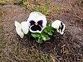 Flowers - (PL) Bratek (16994083439).jpg