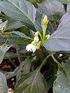 Flowers of Tabasco peppers plant.jpg