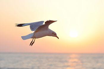 Flying Sea Gull.jpg