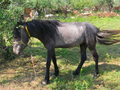 Foal in Greece.png