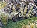 Foto Liolaemus magellanicus (7).jpg