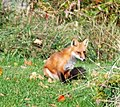 Fox sees me (8080926328).jpg