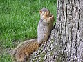 Fox squirrel with sunflowerseed by tree South Bend Indiana USA.jpg