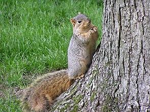 Fuchshörnchen (Sciurus niger)