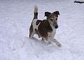 Fox terrier in snow.JPG