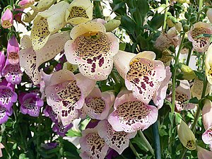 Plant defense against herbivory - Foxgloves produce several deadly chemicals, namely cardiac and steroidal glycosides. Ingestion can cause nausea, vomiting, hallucinations, convulsions, or death.