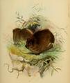 Fraser 1852 Hyrax dorsalis.png