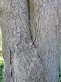 Freeman maple trunk.jpg