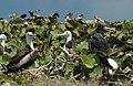Fregata magnificens (magnificent frigatebirds) (Catto Cay, offshore San Salvador Island, Bahamas) (15576299611).jpg