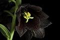 Fritillaria camschatcensis (L.) Ker Gawl., Bot. Mag. 30 t. 1216 (1809) (49973675933).jpg