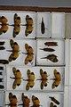 Fulgoridae Drawers - 5036720082.jpg