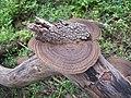 Funghi, Scheyville National Park.JPG